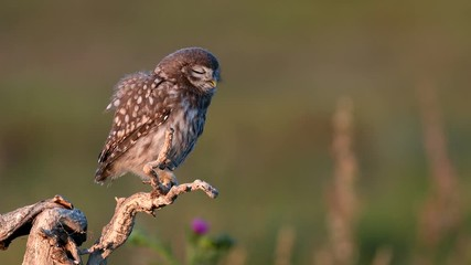 Fototapete - Young little owl (Athene noctua) stands on a dry branch on a beautiful summer background
