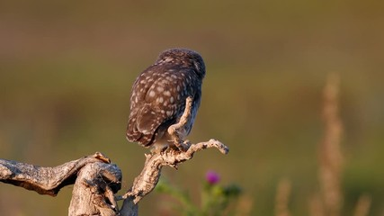 Fototapete - Young little owl (Athene noctua) stands on a dry branch and preening its feathers on a beautiful summer background