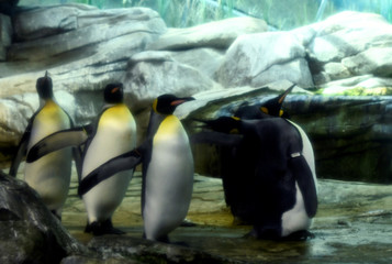 Broody male penguin couple adopt egg at Berlin Zoo