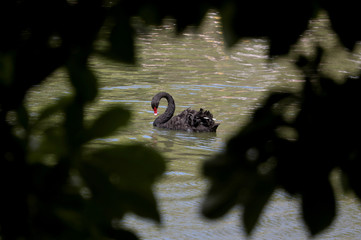 A black swan swims in a lake inside the Retiro Park in Madrid