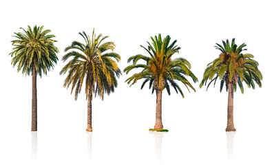 Four palm trees isolated on white background