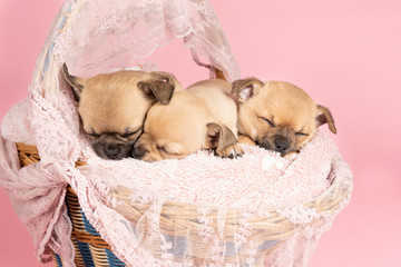 Three cute little Chihuahua puppies sleeping on a pink fur in a pink lace basket with a pink background Wall mural