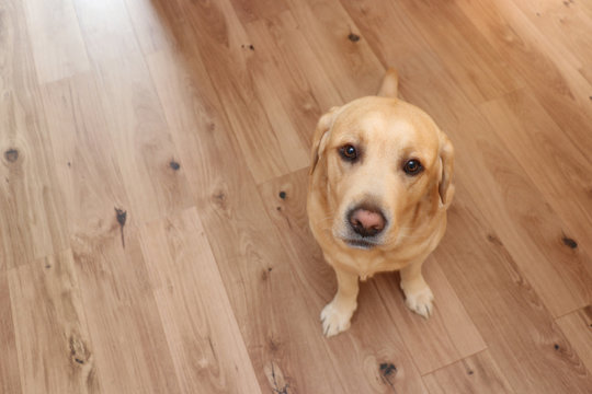 yellow labrador retriever sitting on floor and looking upwards. Large area for own text in the picture