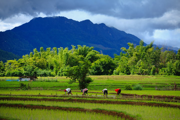 Thailand farmers rice planting working on the field. holding rice in hand rain season more cloud background mountain with hut