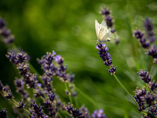 A white butterfly and lavender. Flying around, sitting, resting and flying again from flower to...