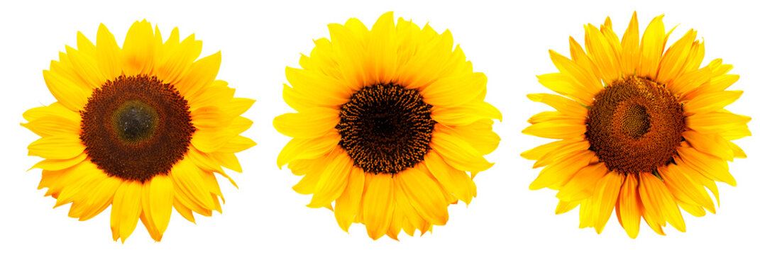 Drei Sonnenblumen isoliert auf weißem Hintergrund
