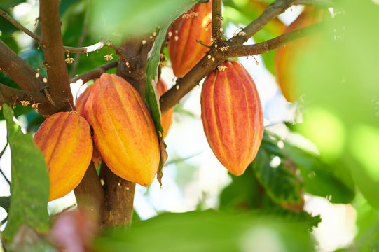 Cacao harvesting theme