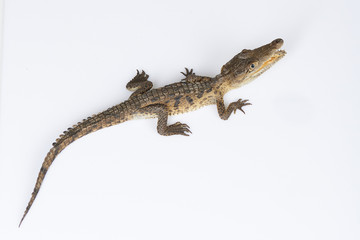 Young crocodile above top