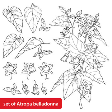 Set of outline toxic Atropa belladonna or deadly nightshade flower bunch, bud, berry and leaf in black isolated on white background.