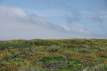 Coastal scenery with wildflowers under blue sky with a wall of fog over the water