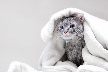 Funny wet gray tabby cute kitten after bath wrapped in white towel with big eyes. Just washed lovely fluffy cat. Wall mural