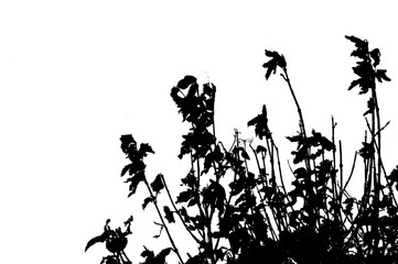 Dead flowers silhouetted against white.