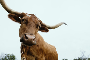 Wall Mural - Texas Longhorn cow looking at camera from above.