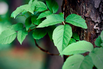 Closeup of poison ivy growing on a pine tree