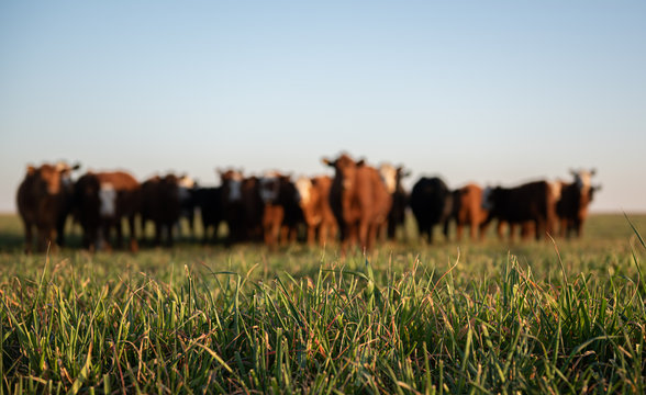 Herd of young cows