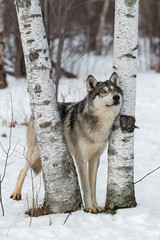 Fototapete - Grey Wolf (Canis lupus) Looks Up Between Birch Trees Winter