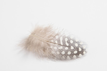 Quail feather on a white background