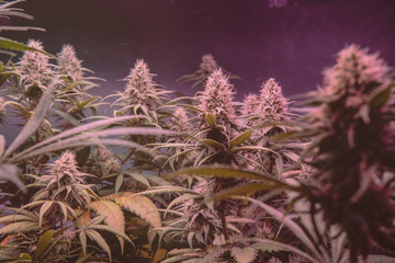 Latest in Cannabis Research. New Marijuana Strains for medical and recreational  use.
