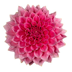 Foto op Plexiglas Dahlia Pink dahlia flower on a white background