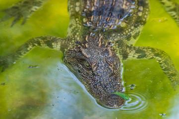 Poster Crocodile Siamese crocodile in the water