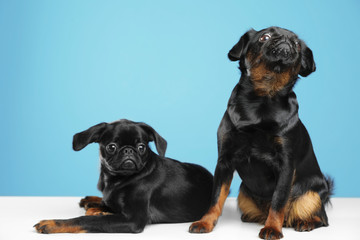 Adorable black Petit Brabancon dogs on white table against light blue background Wall mural
