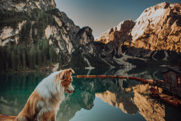 Large and fluffy Bernese Mountain Dog lying on the wooden pier of the mountains lake