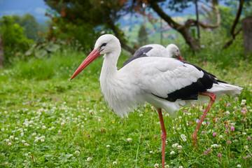 Beautiful white stork on a farm.