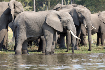 Group of African Elephants by river