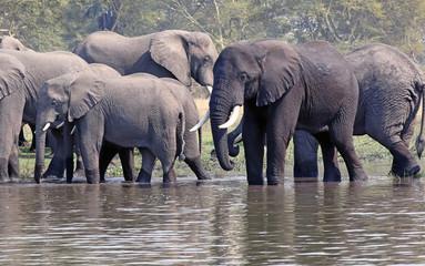 Bull African elephant in mixed herd