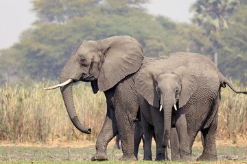 Large and small African elephants by river
