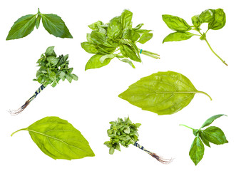 collection of fresh green basil herbs isolated