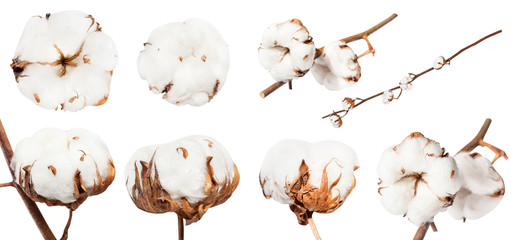 collection of dried ripe boll of cotton plant