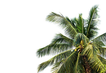 Wall Mural - palm tree isolated on white background