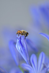 macro pic of bee on a blue flower saving pollen for  sweet honey