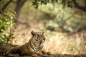 Wild Bengal Tiger (Panthera Tigris Tigris) having rest during hot day in its natural habitat.Ranthambore National Park, Rajasthan, India, endangered species, big beautiful cat
