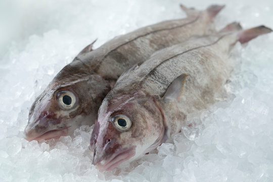 Fresh raw whole haddock fish