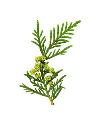 Twig of thuya with buds