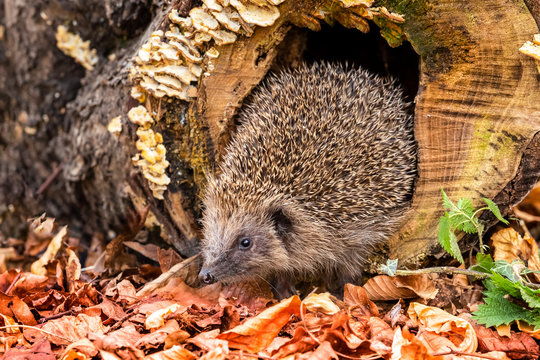 Hedgehog, wild, native, European hedgehog in natural woodland habitat with Autumn leaves and fungi.  Landscape, Horizontal, Space for copy.