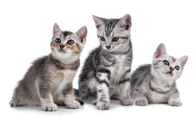 Pet kitten  on the white background