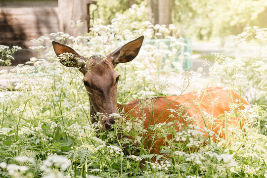 Roe deer standing in a village in a forest in summer day. White wild flowers