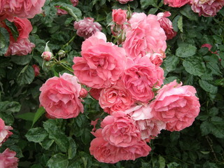 Fototapeta Fotografia przedstawiająca różowe róże na zielonym tle. obraz