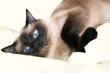 Siamese cat on the bed