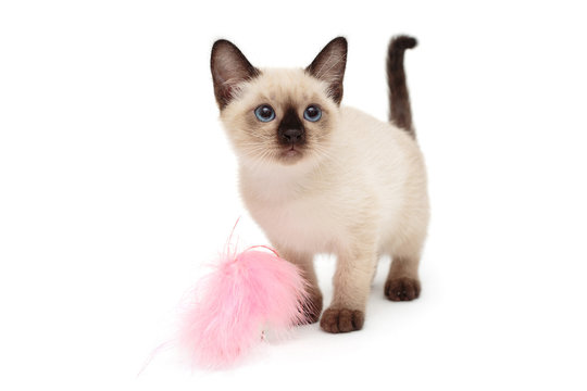 Small Siamese kitten and toy