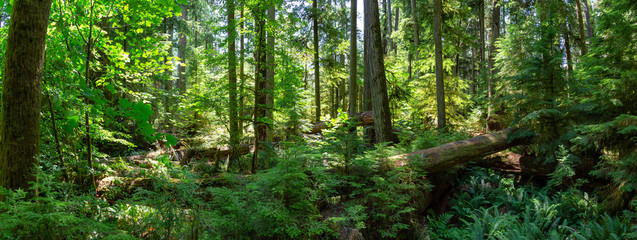 Fototapeten Straße im Wald Beautiful View of the Rain Forest during a vibrant sunny summer day. Taken in MacMillan Provincial Park, Vancouver Island, British Columbia, Canada.