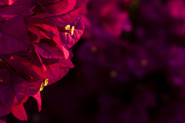 Red Bougainvillea leaves