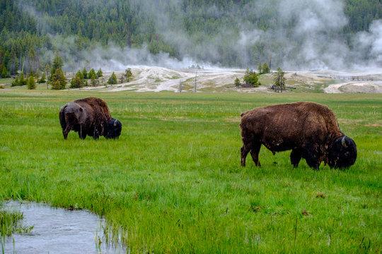 Buffalos in Yellowstone, Wyoming, USA