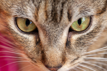 Very close cat portrait - beautiful green eyes