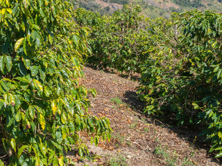 Arabica Coffee trees in coffee plantation in Brazil - organic agriculture