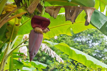Banana blossom on a tree in the garden.