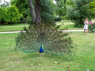 paon faisant la roue dans les jardins de Bagatelle à Paris